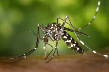 tiger-mosquito-mosquito-asian-tigermucke-sting-86722.jpeg